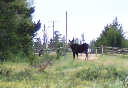 Fox Park Moose