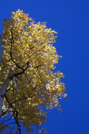 Aspen color against a blue sky