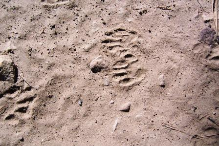 more Racoon tracks