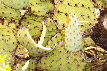 Prickly Pear Snack