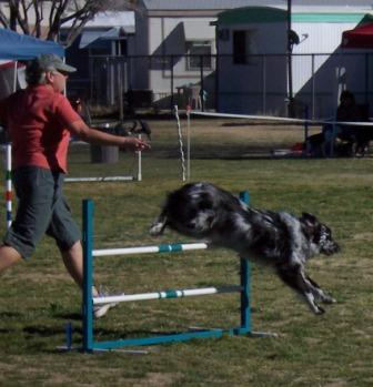 Heidi and Buck at speed on the Dog Agility Field
