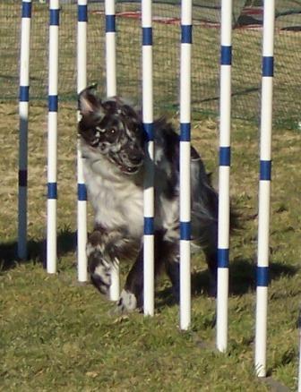 Dog agility weave poles with Buck