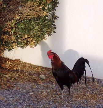 Lordsburg Rest Area Rooster