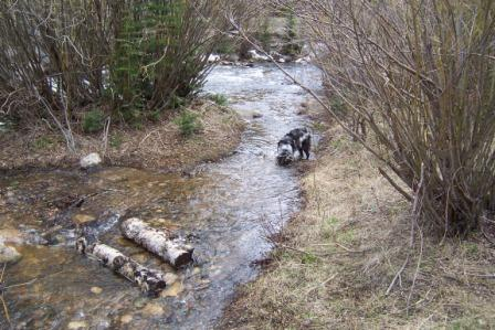 Australian Shepherd Playing in Libby Creek