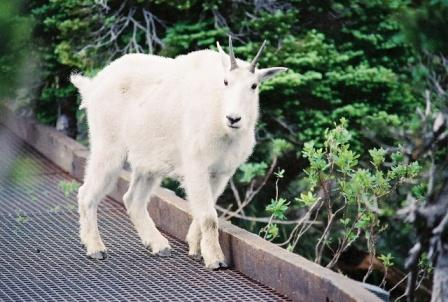 Letting a Mountain Goat Get Way To Close
