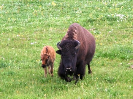 Buffalo cow and calf