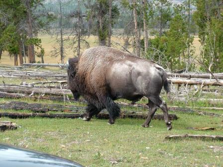Buffalo Surprise