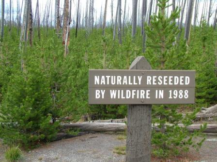 reseeded yellowstone devastation