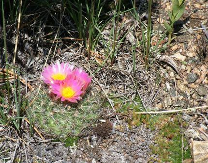 Cactus on the Medicince Bow National Forest