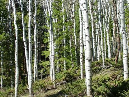Medicine Bow Aspen Grove
