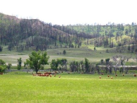 Cattle in the Black Hills