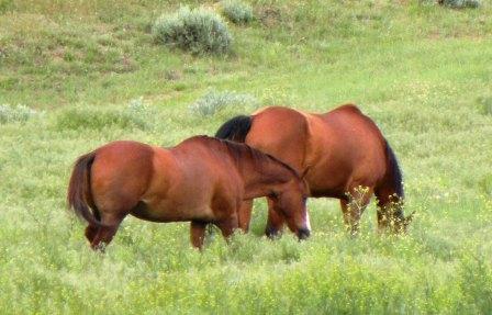 Retired Cowboy Horse