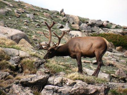 Elk Bull in Rocky Mountain National Park