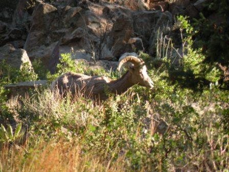 Bighorn ram in Thompson Canyon