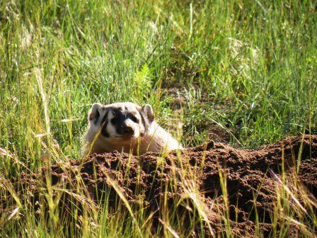 Rocky Mountain National Park Badger
