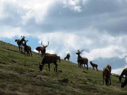 Elk above Timberline in Rocky Mountain National Park
