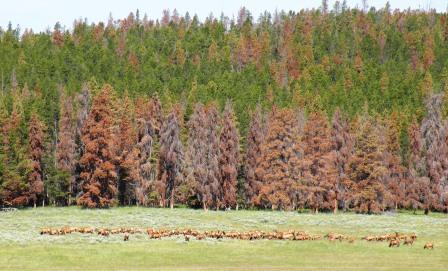 Elk Cows on summer pasture