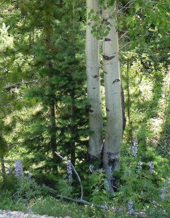 Aspen, Lupine, Pine together