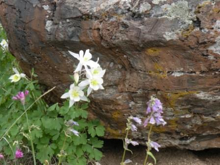 Mountain Columbines