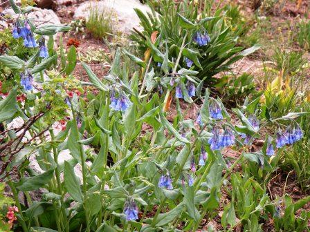 Some Variety of Blue Bells?