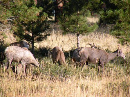 Bighorn Sheep at Flaming Gorge National Rec Area