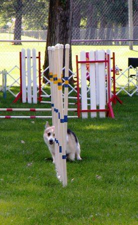Corgi doing the weaves in Dog Agility