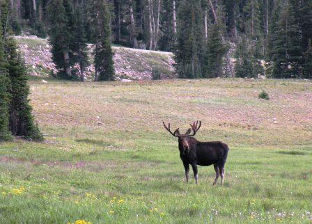 Moose Bull in the Uinta Mountains