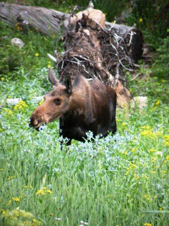 Cow Moose in the Uinta Mountains