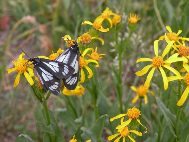 Uinta Moths on Yellow Flowers