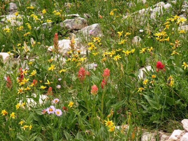 Uinta Mountain Flowers