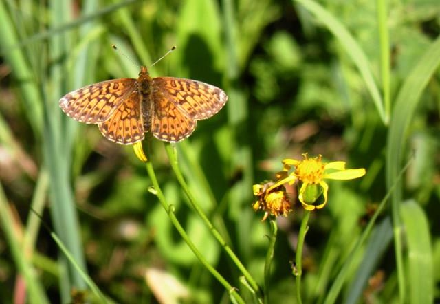 High Mountain Butterfly