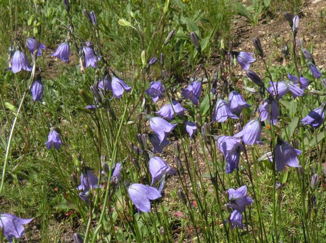 Bluebells in the Rockies