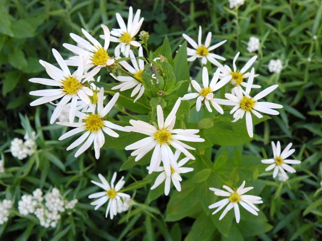more white daisies of some sort