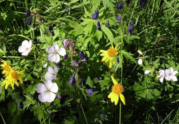 multi-colored flowers in Routt National Forest