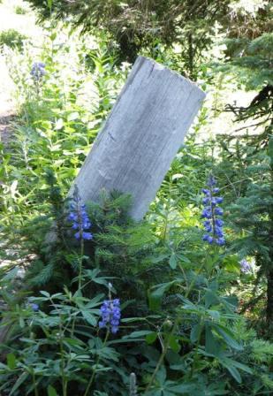 Blue flowers in the Rockies