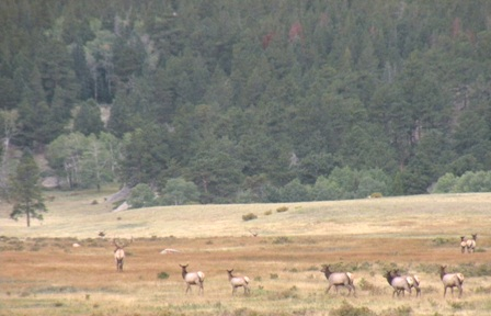 Small bunch of bugling elk
