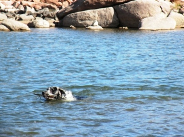 Buck swimming in Dowdy Lake