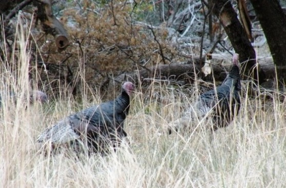 Zion National Park Turkeys