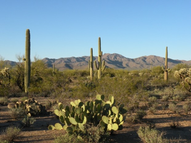 Desert Saguaros