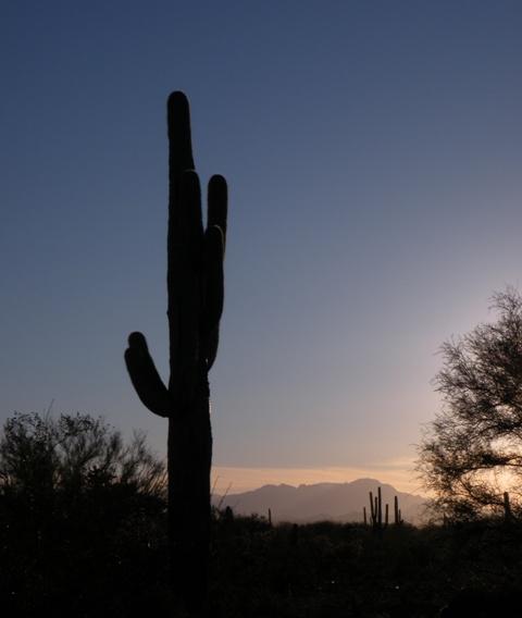 Silhouetted Saguaro