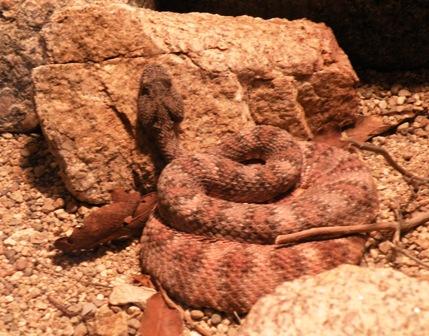 Arizona-Sonora Desert Museum Rattler