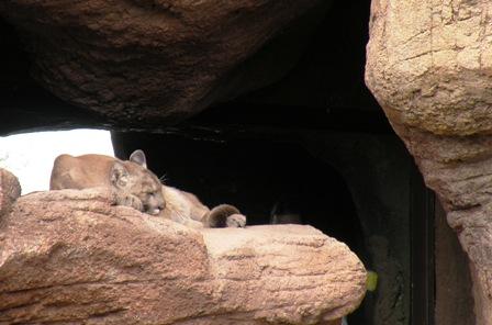 Arizona-Sonora Desert Cougar