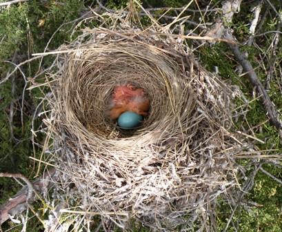 Robin chicks and egg