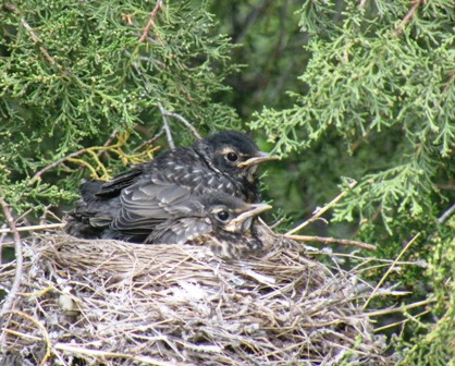 Robin Chicks getting big