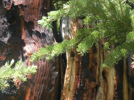 Burnt snag and new life in the Snowy Range of Wyoming