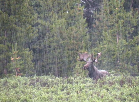 Big Colorado Moose in the rain