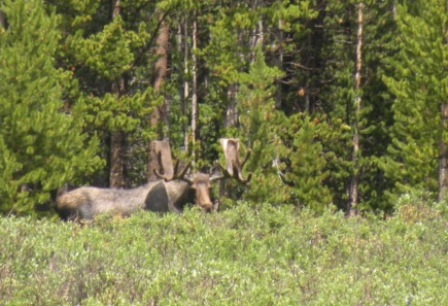 Big Moose by Red Feather Lakes Colorado