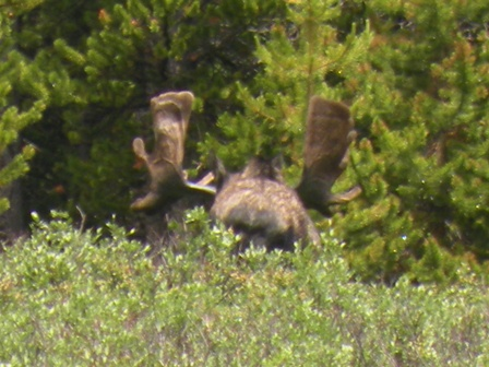 Moose on Nikon P80 with full zoom