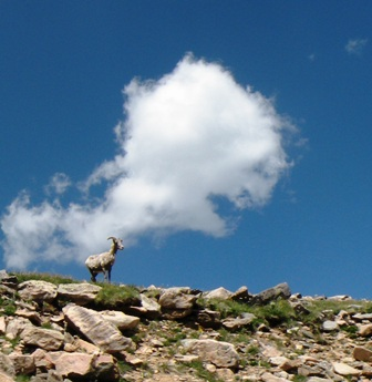 Rocky Mtn Bighorn Sheep on Mt Evans