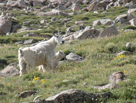 Rocky Mtn Goat and her Kid